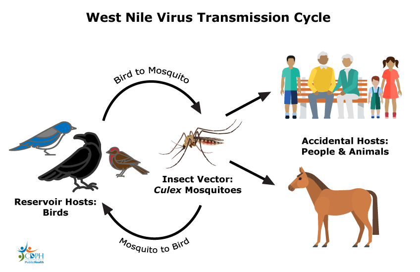 batı nil virüsü rezervuarı